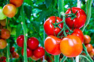 Hệ lụy khi lạm dụng chất kích thích sinh trưởng trong trồng trọt