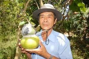 Hậu Giang: Bưởi hồ lô cung ứng thị trường tết khoảng 8.000 trái