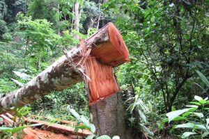 Gần một nửa số vụ phá rừng có yếu tố hình sự chưa xác định được thủ phạm