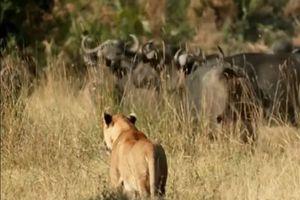 Clip: Trâu rừng hợp sức cứu nghé non khỏi miệng sư tử