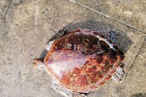 Huế: Thả cá thể rùa biển về với tự nhiên