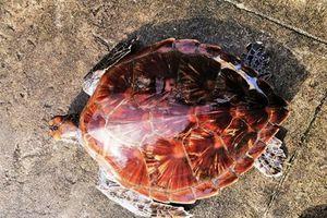 Huế: Thả rùa quý nằm trong sách đỏ về với biển