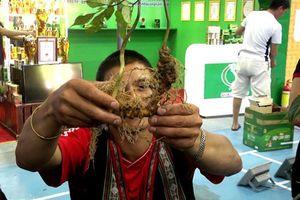 Quảng Nam: Rao bán 'sâm đểu' giữa vùng sâm Ngọc Linh