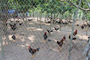 Đẩy mạnh liên kết chăn nuôi an toàn, kiểm soát dịch bệnh