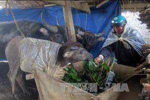 Nghệ An triển khai giải pháp bảo vệ đàn gia súc trong mùa rét