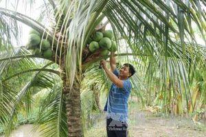 Trà Vinh triển khai 3 nhóm giải pháp chính nâng cấp chuỗi giá trị dừa