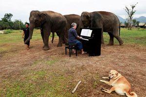 Những con voi 'đau khổ' được xoa dịu tâm hồn bằng... nhạc cổ điển