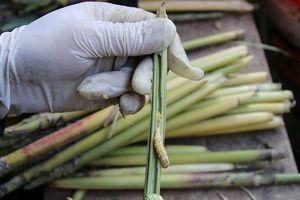 Săn lùng loại 'thần dược' ví như đông trùng hạ thảo, giá 4 triệu đồng/kg