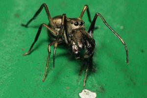 Kinh ngạc loài nhện nuôi con bằng sữa mẹ như người