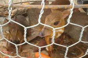 Đắk Lắk: Nhiều thú rừng trong nhà hàng không có nguồn gốc bị phát hiện