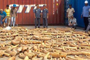 Thu giữ 1 vụ vận chuyển 3.000 kg ngà voi châu Phi