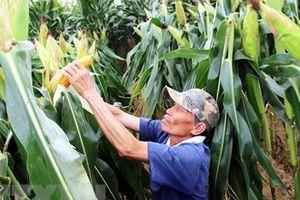 Ngô biến đổi gen giúp nông dân thu lợi nhuận cao hơn 28% ngô thường