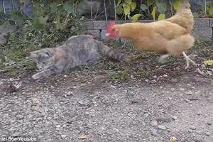 Gà mái cướp mồi tinh vi ngay trước mắt mèo béo