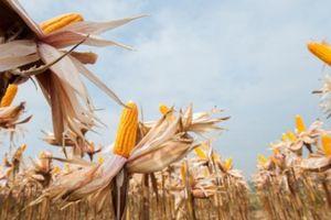 Ruộng ngô đẹp lạ của nông dân Thái Nguyên
