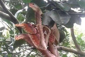 Sốc nặng thấy rắn ba đầu như thần thoại và sự thực té ngửa