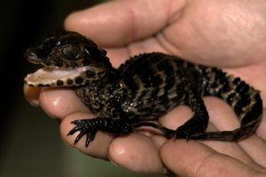 Sự thật bất ngờ về loài cá sấu nhỏ tí vô cùng đáng yêu