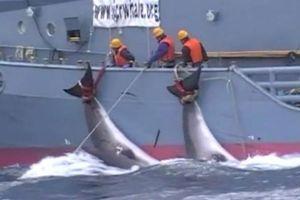 Nhật Bản sẽ rút khỏi Ủy ban Đánh bắt Cá voi quốc tế (IWC)