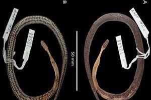 Phát hiện loài rắn mới ... bên trong 'dạ dày' một con rắn khác