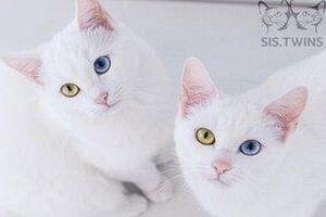 Cặp mèo 'đẹp nhất thế giới' mê hoặc người đối diện với đôi mắt tạp sắc vô cùng hiếm