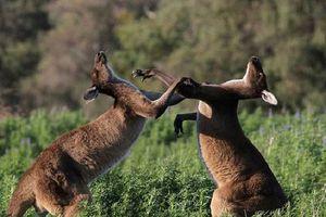 Giai thoại về nguồn gốc cái tên 'kangaroo' của loài chuột túi