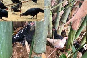 Quảng Ngãi: Phát thèm với gà re, ếch núi, chạch cát ở vùng cao Ba Tơ