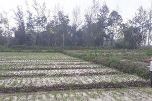 Nỗi buồn người trồng hoa tết Quảng Nam, Quảng Ngãi