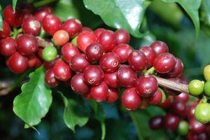 Nông sản đầu tuần: Giá cà phê tăng nhẹ