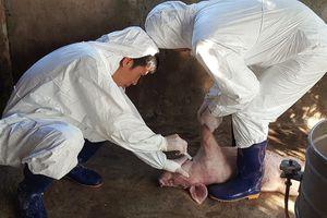 Nam Định 'phòng thủ' dịch tả lợn châu Phi
