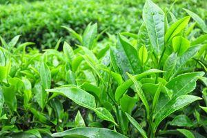 Những lợi ích tuyệt vời mà trà xanh mang lại đối với sức khỏe