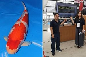 Cá Koi giá hàng chục tỷ có gì đặc biệt?