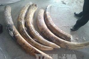 Truy tố đối tượng vận chuyển ngà voi sang Thái Lan