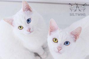 Cặp mèo song sinh có đôi mắt khác màu gây bão trên Instagram