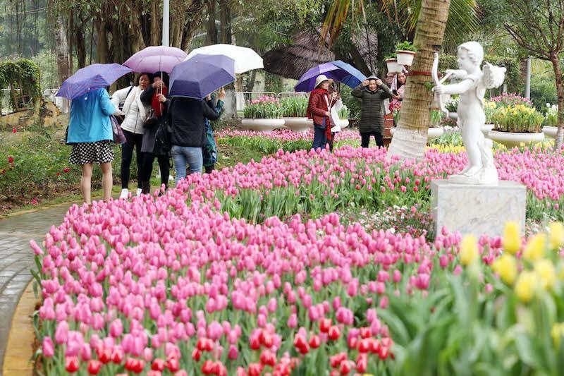 'Cánh đồng' hoa tulip Hà Lan lần đầu xuất hiện ven Hà Nội