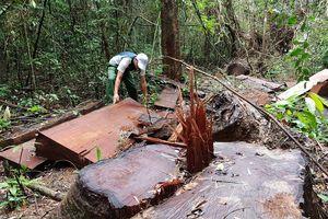 Bảo vệ rừng thuê người chặt gỗ để 'bịt đường' lâm tặc