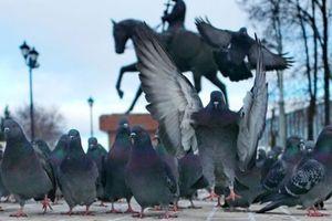 Chim bồ câu bị trục xuất vì đe dọa khách du lịch