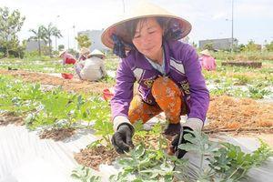 Kinh nghiệm trồng dưa hấu cho lợi nhuận cao