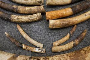 Nhận chuyển hộ 4 cây giò nạc sang Thái Lan với giá 500.000 đồng, bị bắt vì giò nạc 'biến thành' ngà voi