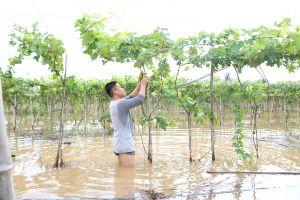 Ninh Thuận: Ngập úng, lũ quét, nông dân thiệt hại nặng