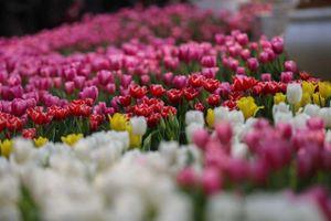 Đổ xô ngắm hoa Tulip rực rỡ trong mùa đông Hà Nội