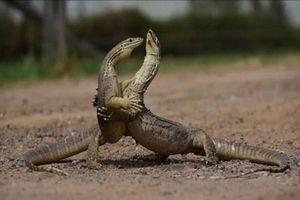CLIP: Hai con kỳ đà cát 'đấu vật' quyết liệt