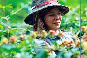 Arabica Mường Ảng - Hương vị cà phê đích thực