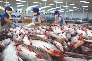 Kỷ lục của ngành cá tra Việt Nam