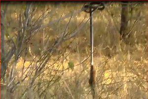 CLIP: Cầy mangut chơi đánh đu với rắn