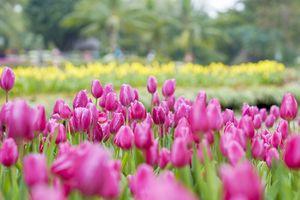Lạc lối giữa 'rừng' hoa tulip sắc màu dịp đầu năm