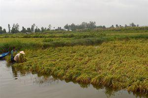 Kiên Giang: Cấm biển, yêu cầu khẩn trương thu hoạch lúa mùa