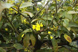 Quảng Ngãi: Mưa lạnh kéo dài, hoa mai nở sớm