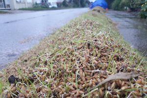 Nông dân khóc ròng vì lúa phơi nảy mầm khi liên tục dính mưa oái ăm