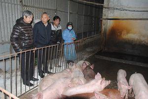 Người nuôi giấu dịch lở mồm long móng, giá lợn Tết có tăng?