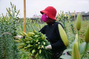 Xuất hiện làng hoa Tây Tựu thứ hai gần Hà Nội