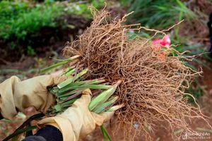 Nghệ An: Một xã thu gần 7 tỷ đồng từ bán rễ hương